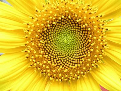 自然界处处可见费氏数列(fibonacci sequence)的例证,例如:向日葵