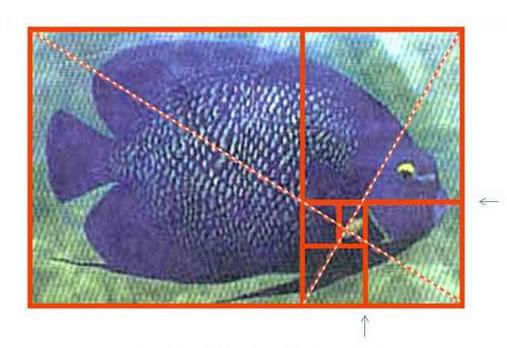 天使鱼的身体比例也是完美的黄金分割矩形,其嘴和腮都位于二次黄金图片